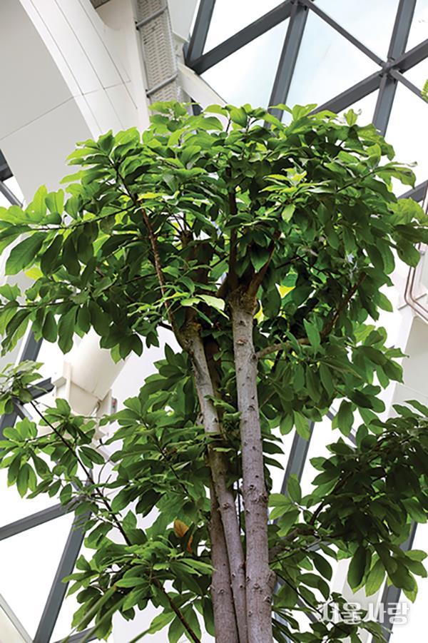 캐넌볼나무